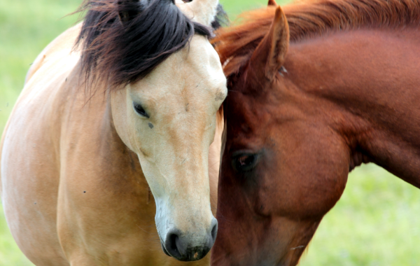 Image of horses comforting each other. Equine-Assisted Therapy (EAT) very effective for a host of emotional issues.
